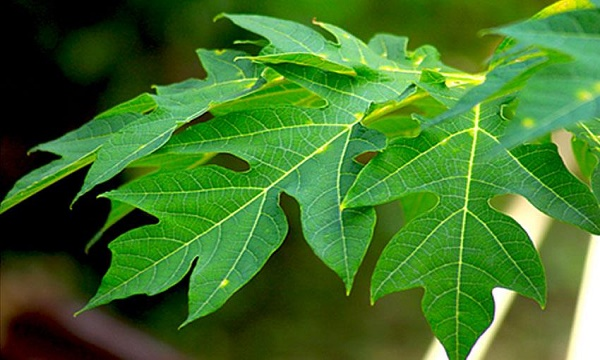 7 Benefits of Papaya Leaves: It's Boon For Human